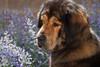 Purebred  Tibetan Mastiff