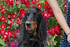 Purebred  Black and Tan Coon Hound