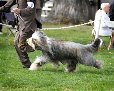 (Image #7356a) GROUP THIRD/BEST OF BREED - Bearded Collie #9: GCH Wiggleworth Thriller (call name Johnny).  Orange Empire Dog Club 2014 All Breed Show.  January 26, 2014 in San Bernardino, California. Bred by Sharon & Jeff Ipser.  Owned by Anna Marie Yura, Dawn Symes and Sharon Ipser.