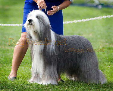 (Image #7352a) SELECT DOG - Bearded Collie #11: GCH Deamchaser Follow Your Dreams.  Orange Empire Dog Club 2014 All Breed Show.  January 26, 2014 in San Bernardino, California. Bred by Debra Quadland, Thomas Dixon and Graeme B Burdon.  Owned by Carole & Jim Desmond, D Quadland and T Dixon.  Handled by Valerie Nunes-Atkinson.
