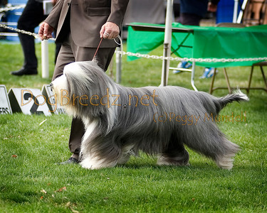 (Image #7343a) GROUP THIRD/BEST OF BREED - Bearded Collie #9: GCH Wiggleworth Thriller (call name Johnny).  Orange Empire Dog Club 2014 All Breed Show.  January 26, 2014 in San Bernardino, California. Bred by Sharon & Jeff Ipser.  Owned by Anna Marie Yura, Dawn Symes and Sharon Ipser.