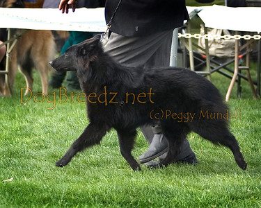 (Image #7304a) BEST OF BREED/WINNERS DOG - Belgian Sheepdog #9: Hebenyf Delafusee Kuymal.  Orange Empire Dog Club 2014 All Breed Show.  January 26, 2014 in San Bernardino, California. Bred by Sharon LaFuse.  Owned by Peggy Richter.