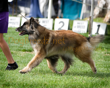 (Image #7516a) Belgian Tervuren #18: Savanna Mon Ami River Of Dreams.  Orange Empire Dog Club 2014 All Breed Show.  January 26, 2014 in San Bernardino, California. Bred by/Owned by Peri Norman, Sandi Weldon and Jill Thomas.