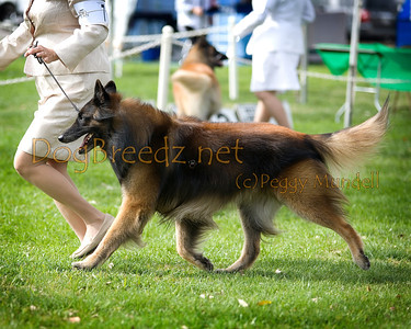 (Image #7498a) BEST OF BREED - Belgian Tervuren #7: GCH Mishaook's Lautrec.  Orange Empire Dog Club 2014 All Breed Show.  January 26, 2014 in San Bernardino, California. Bred by Lawrence Stanbridge.  Owned by Kim Gauchat and John Parlichko.