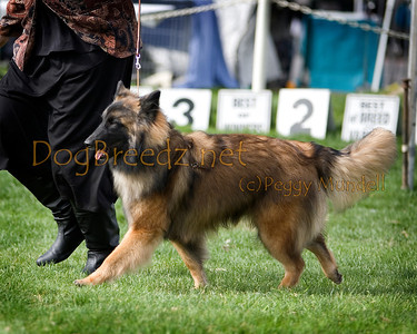 (Image #7440a) BEST OF WINNERS/WINNERS BITCH - Belgian Tervuren #6: Bel Canto Dragontire Al Maikier.  Orange Empire Dog Club 2014 All Breed Show.  January 26, 2014 in San Bernardino, California. Bred by Evelyn McGuiness and Jillene Stanfield.  Owned by AJ & Andrea Beechiko.
