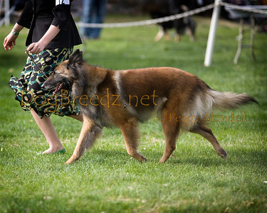 (Image #7504a) Belgian Tervuren #12: GCH Savanna Monami Riverdance RN, NAP, NJP.  Orange Empire Dog Club 2014 All Breed Show.  January 26, 2014 in San Bernardino, California. Bred by Jill & Ron Thomas.  Owned by Sandi Weldon, Jill Thomas and Peri Norman.