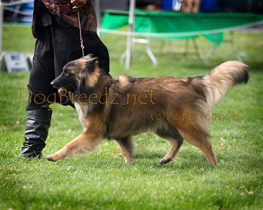 (Image #7444a) BEST OF WINNERS/WINNERS BITCH - Belgian Tervuren #6: Bel Canto Dragontire Al Maikier.  Orange Empire Dog Club 2014 All Breed Show.  January 26, 2014 in San Bernardino, California. Bred by Evelyn McGuiness and Jillene Stanfield.  Owned by AJ & Andrea Beechiko.