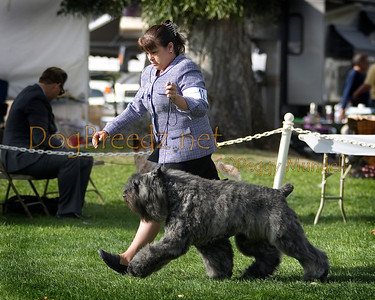 (Image #7201a) BEST OF BREED - Bouvier Des Flanders #12: GCH Stonewall Iski De La Salsa.  Orange Empire Dog Club 2014 All Breed Show.  January 26, 2014 in San Bernardino, California. Bred by/Owned by Judith Abramsohn and Pamela Anderson.