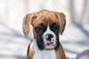 Purebred  Boxer