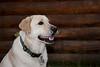 Purebred Labrador Retriever