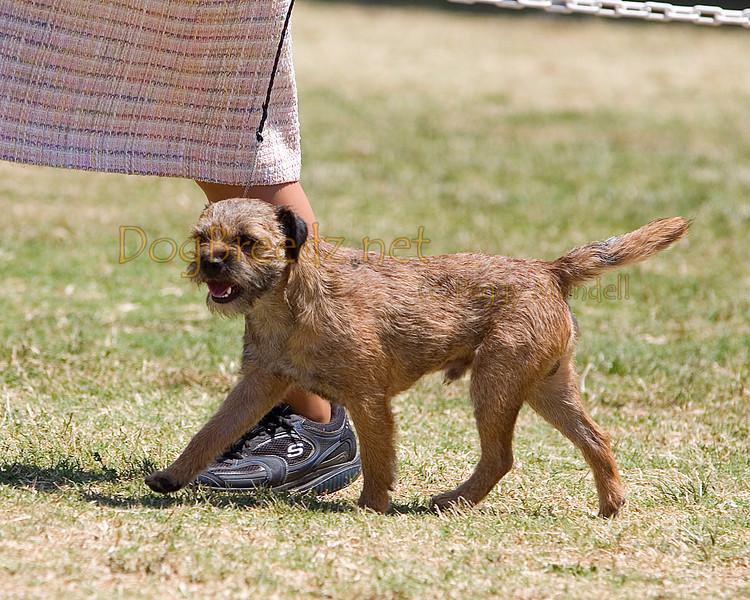 Border terrier kennel klub