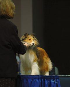 Shetland Sheepdog National Specialty