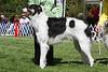 12-15 dog fourth<br /> Swanmanor Liam Legend O Lucknlore Tece<br /> owners Torrea Leborn, Jody Landus & Traci Hagen