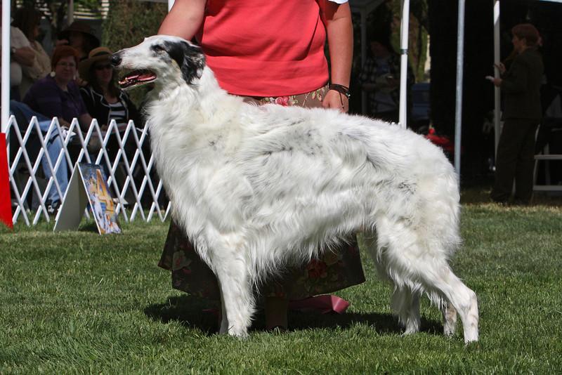 8 - 9 year dog<br /> CH WindNsatin Estacia
