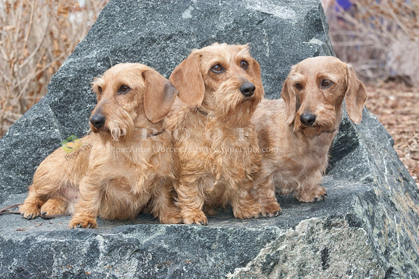 Dachshunds CJ