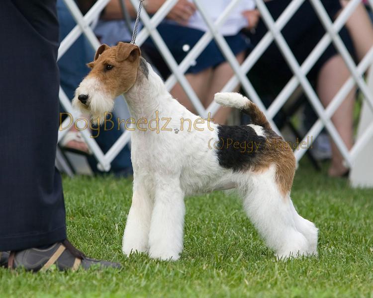 DogBreedz Photo Keywords: wire Fox Terrier, dog show