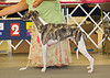 Sportingfield Let The Music Play - 1st - American Bred Dog