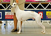 Rio Grande De Sud - 1st - 12 to 18 months Dog, Winners Dog, Best of Winners
