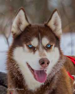 Animal Events - Dog Sleds, Equine etc.
