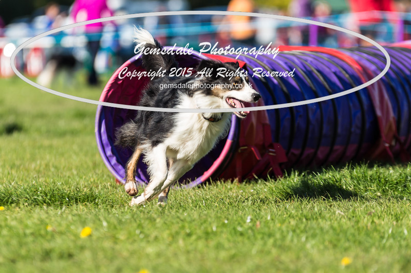 KC Southdowns Agility September 2015 -2037