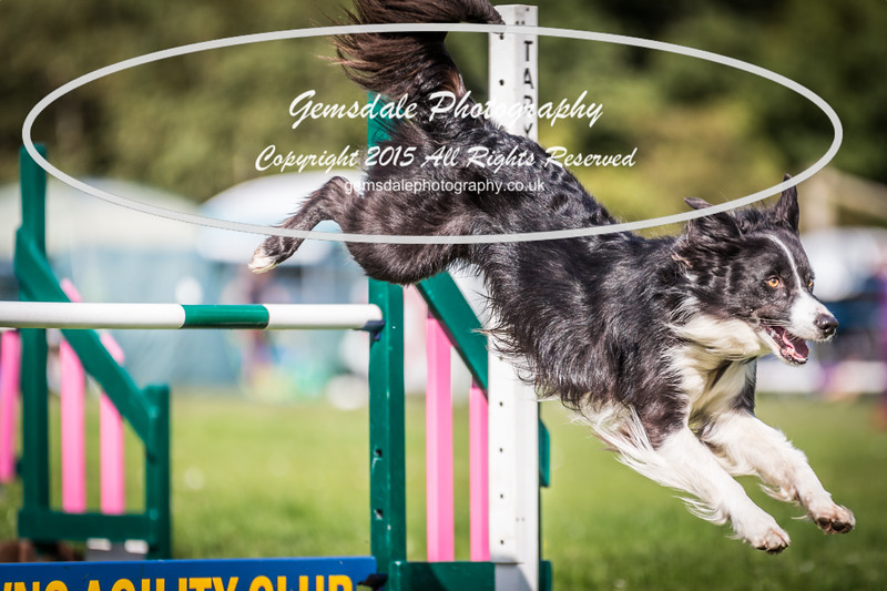 KC Southdowns Agility September 2015 -3018