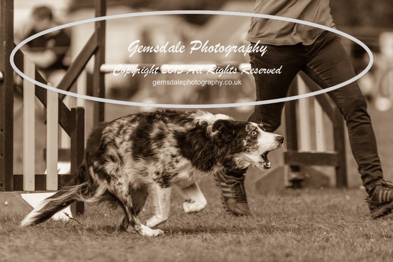 KC Southdowns Agility September 2015 -3027