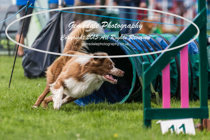 KC Southdowns Agility September 2015 -3031