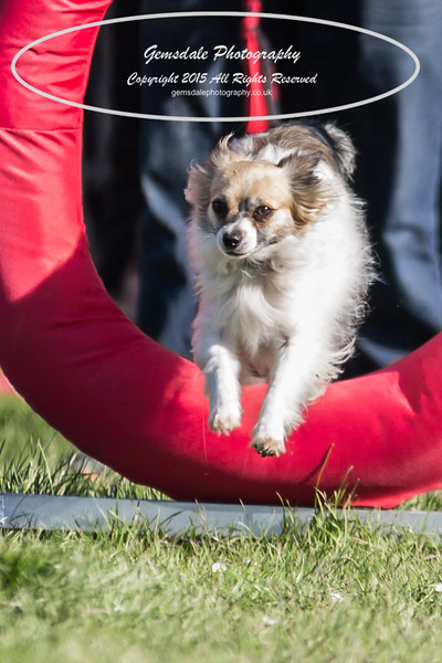 KC Southdowns Agility September 2015 -4007