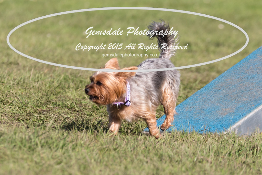 KC Southdowns Agility September 2015 -4005