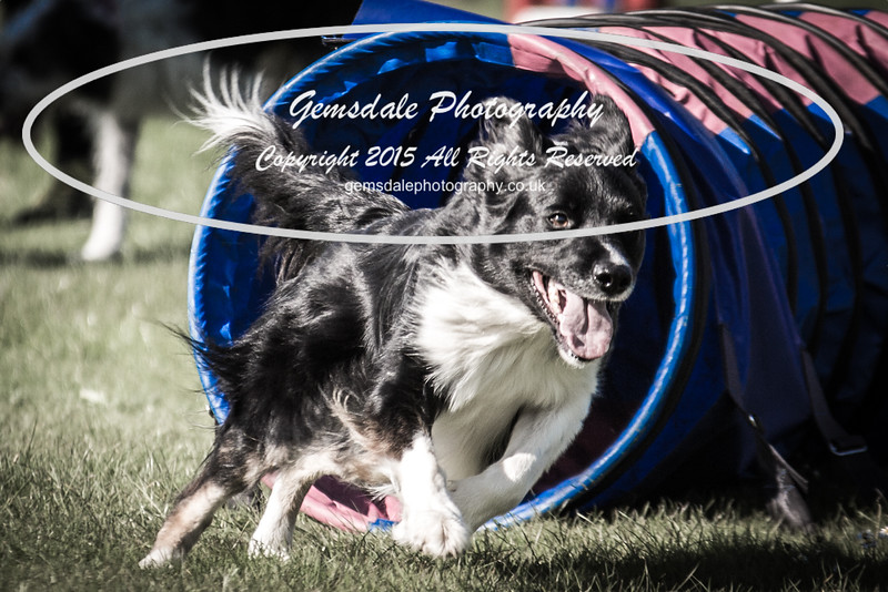 KC Southdowns Agility September 2015 -9024
