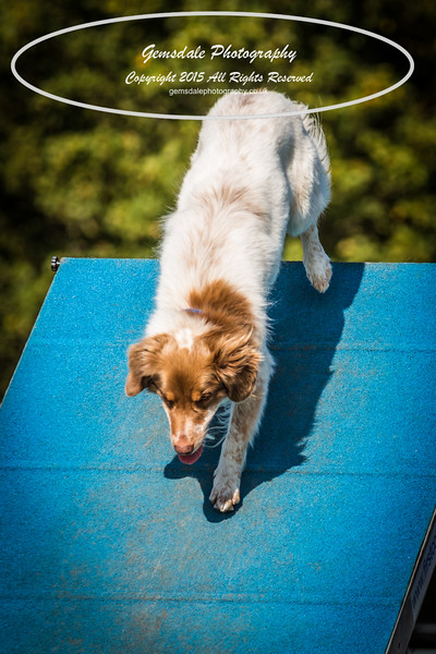 KC Southdowns Agility September 2015 -9032