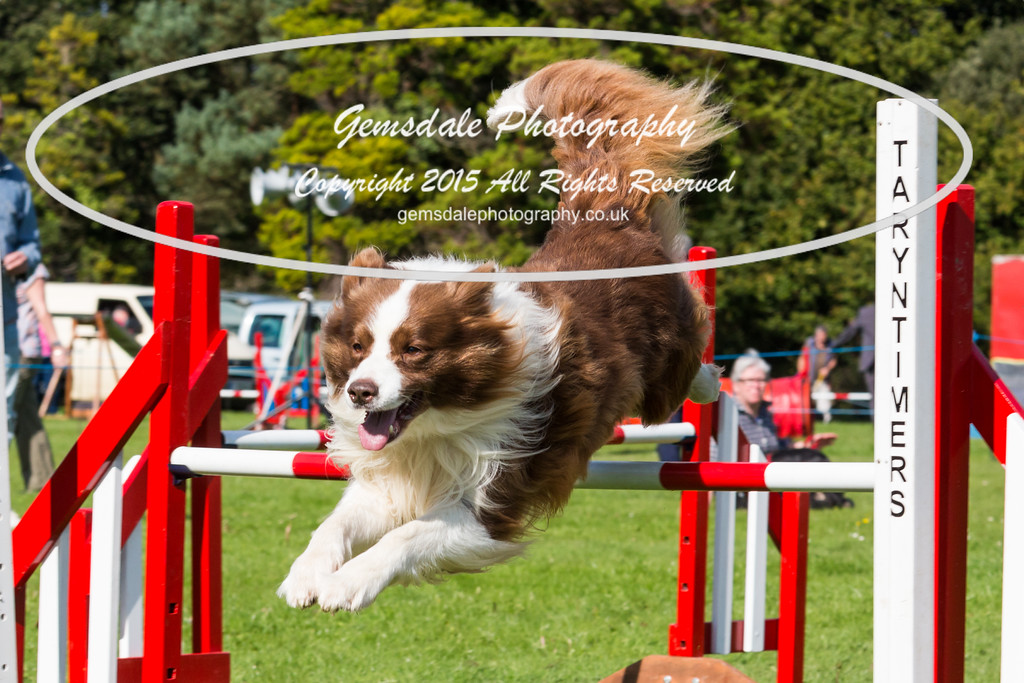 KC Southdowns Agility September 2015 -6016