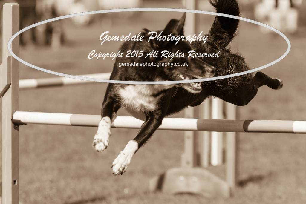 KC Southdowns Agility September 2015 -6007