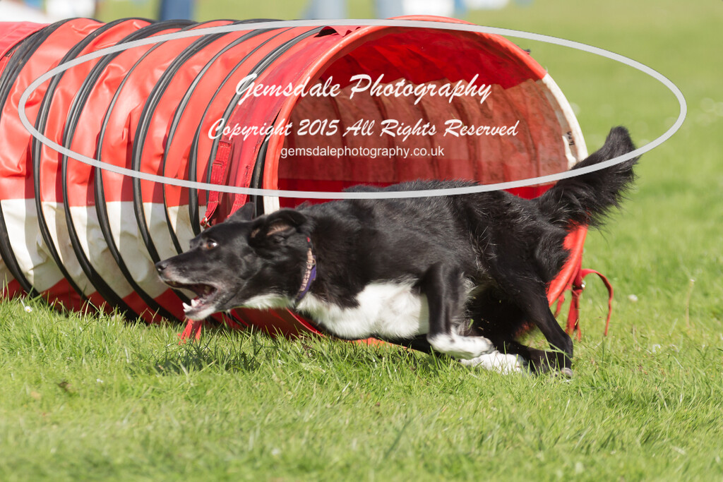 KC Southdowns Agility September 2015 -6005