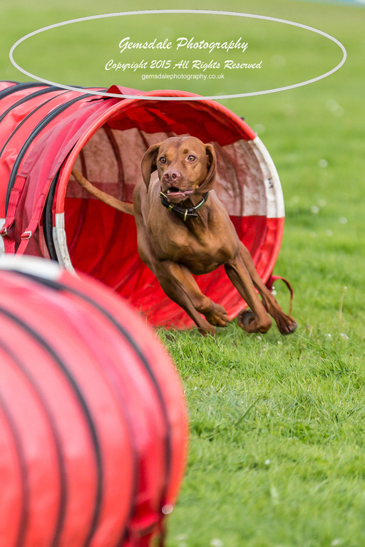 KC Southdowns Agility September 2015 -6013