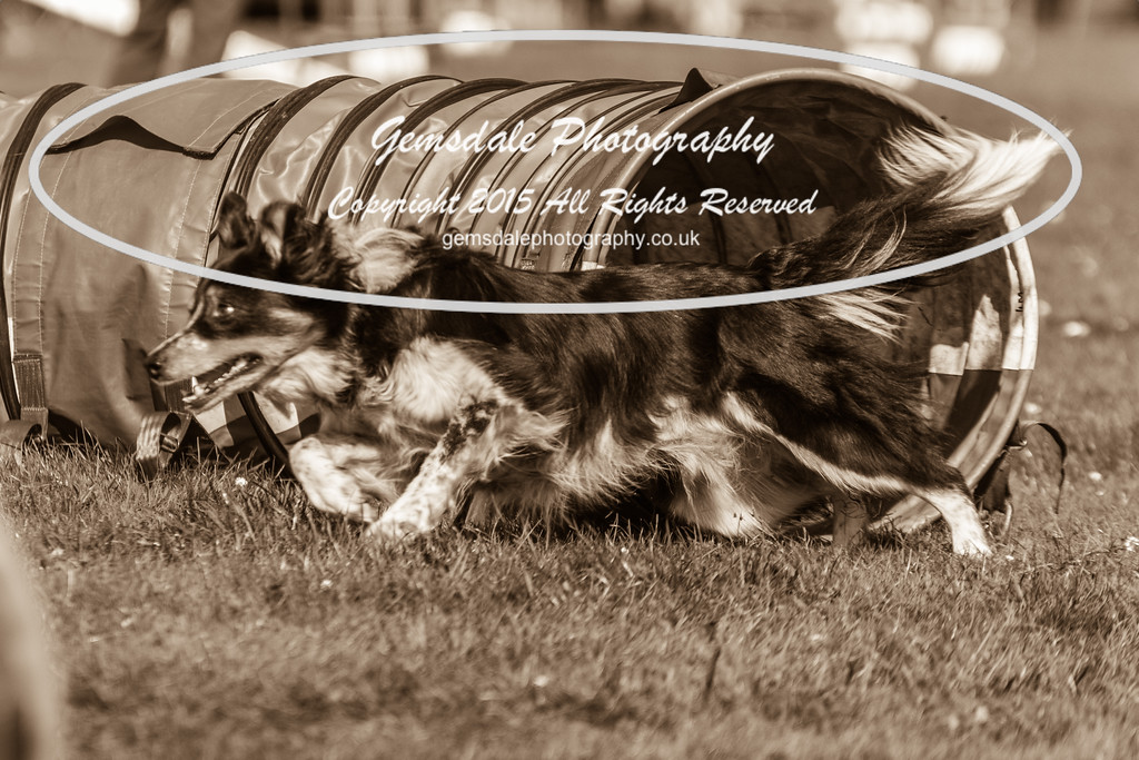 KC Southdowns Agility September 2015 -6029