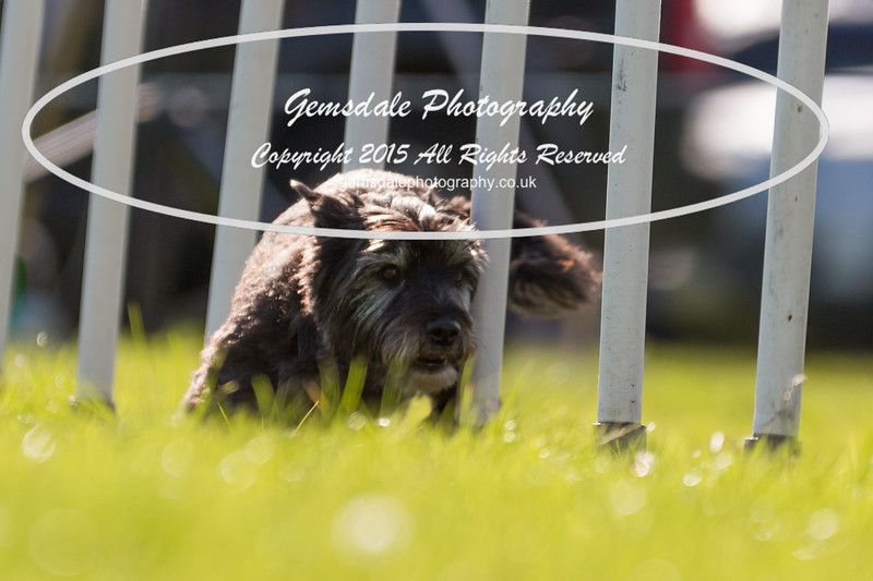 KC Southdowns Agility September 2015 -7039