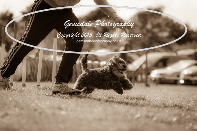 KC Southdowns Agility September 2015 -7026