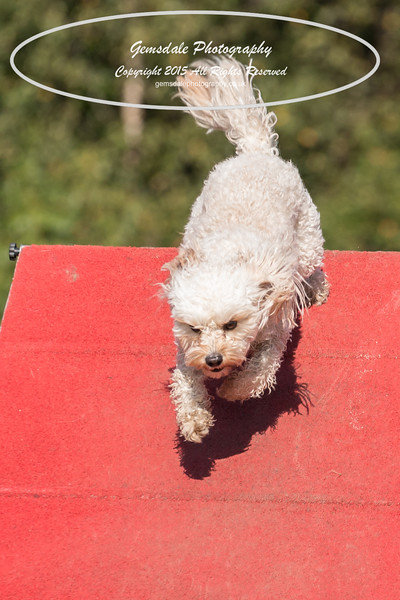 KC Southdowns Agility September 2015 -7003