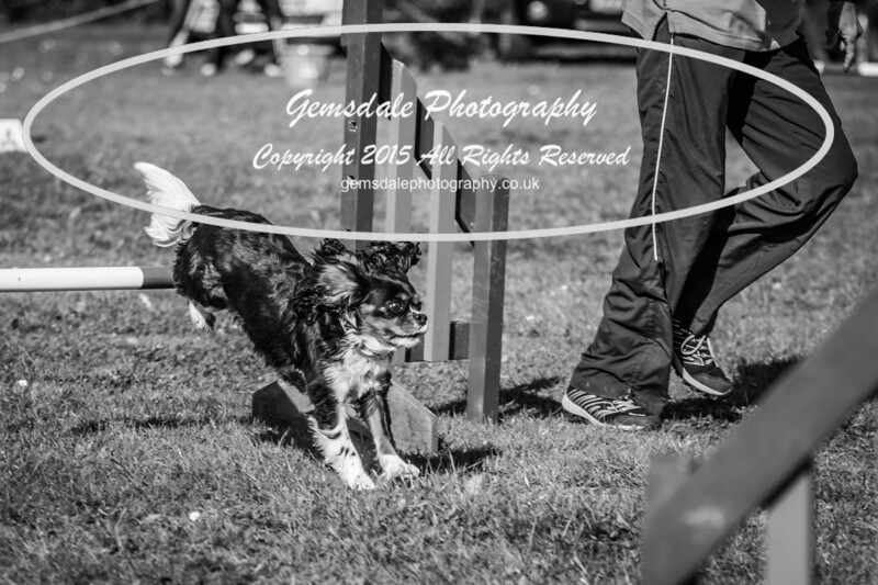 KC Southdowns Agility September 2015 -7011
