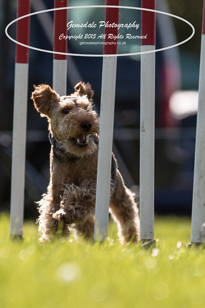 KC Southdowns Agility September 2015 -7041