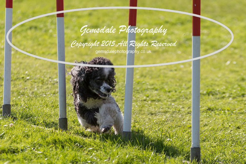 KC Southdowns Agility September 2015 -7022