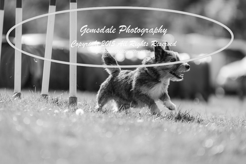 KC Southdowns Agility September 2015 -7038