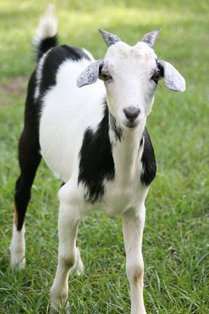 Kid goat.