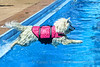 Ellie-Swimming Samoyed