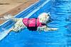Ellie-Swimming Samoyed