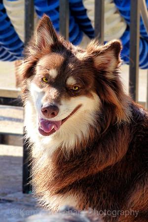 Rufus-Siberian Husky Red