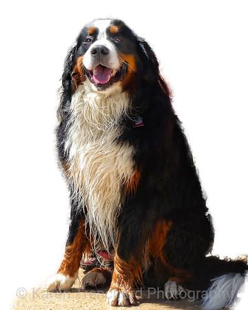 Beautiful Brisket Bernese Mountain Dog