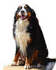 Beautiful Brisket Bernese Mountain Dog