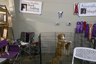 This Nova Scotia duck tolling retriever watches the non-sporting group section of the parade of breeds at the 30th annual Dog Expo at Redwood Acres in Eureka on Sunday afternoon. (Hunter Cresswell - The Times-Standard)